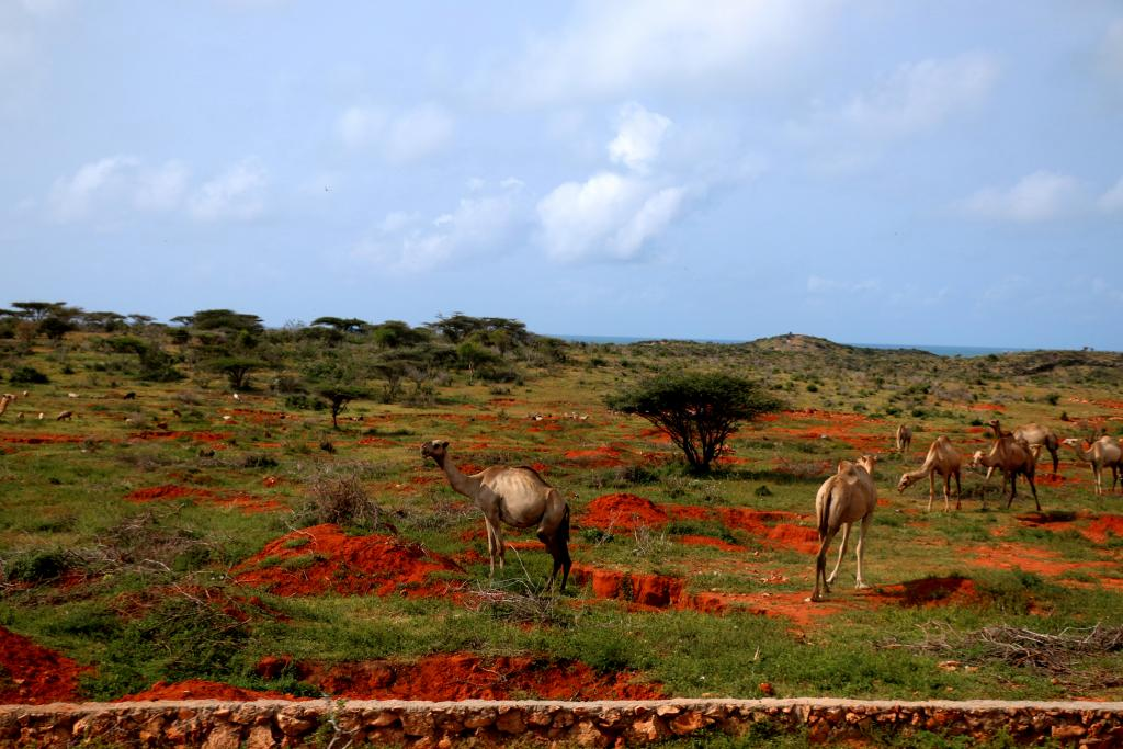 The camel blends into Somalia's psyche and economy as much as it blends into its physical landscapes. In this pastoral society, the camel is vital as a source of nutrition and essential as a means of transportation. This dual function has made the camel a factor of sustainability and social cohesion for many centuries. But the animal also serves as a currency: it is given away, for example, to settle disputes under Xeer, the traditional legal system.